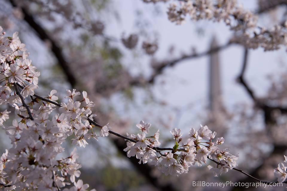 Cherry Blossom 10 Mile Run Rave Review | Still a Runner