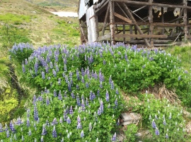 The wired crib set off by a field of lupine is used to dry fish heads.